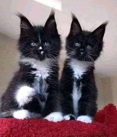 Cutest Kittens Ever, Cute Cats And Kittens, I Love Cats, Cute Funny Animals, Funny Animal Pictures, Cute Dogs, Pretty Cats, Beautiful Cats, Animals And Pets