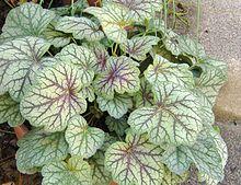 Heuchera americana - American alumroot. Ground cover perennials for shade