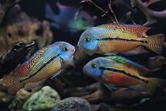 Cichlid Aquarium, Aquarium Fish, Fisher, Aqua Decor, Aquarium Backgrounds, 3d Background, Beautiful Fish, Fish Tank, Habitats