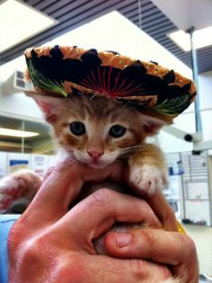 Animals + Sombreros = Best Cinco de Mayo Ever! Baby Cats, Baby Animals, Funny Animals, Cute Animals, Cute Kittens, Cats And Kittens, Gatos Cats, Cat Hat, Here Kitty Kitty