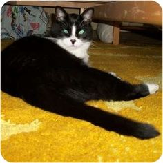 Toronto, ON - Domestic Shorthair. Meet Squirt a Cat for Adoption. Beautiful cat. Incensewoman