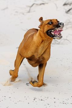 ☀Rhodesian Ridgeback ~ Themba running in the dunes. by Marc Croes on Flickr*
