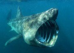 goblin shark | goblin shark | Tumblr