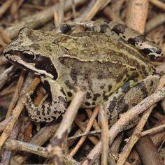 Common Frog (Rana temporaria), unfortunately getting less common.