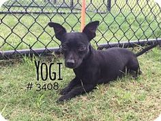 Yogi - URGENT -  Alvin Animal Adoption Center in Alvin, Texas - Adult Male Dachshund/Chihuahua Mix