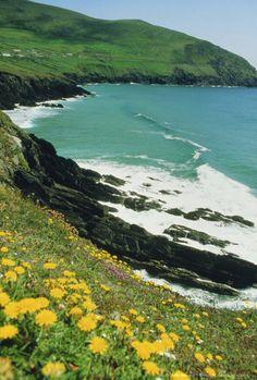 Irish summer colours, Slea Head, Dingle Peninsula, County Kerry, Munster, Republic of Ireland (Eire), Europe