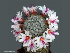 Mammillaria sleninnii