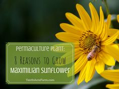 Permaculture Plant: 8 Reasons to Grow Maximilian Sunflower -- Maximilian sunflower is a beautiful flower to add to your garden, but its uses go beyond beauty. Learn about this permaculture plant and 8 reasons to grow it in your landscape.