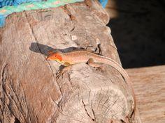 female lava lizard - Galapagos - September 2012