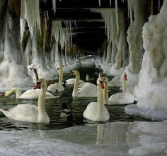 Beautiful swans in a frozen cave.