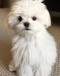 Please doubletab and tag a Friend below Hello! Hola! Ciao! Aloha! Ni Hao! Shalom! Bonjour! Credit to :@cocothemaltesedog Follow my instagram if you love : @maltese._.lover ------------------------------------------ Tag your friends Follow me @maltese_cuties Follow us @maltese.dog.love Make sure you push like follow for daily pics! ________________ Thank you my friend #via @maltese_cuties #maltese #maltese101 #malteseofinstagram #maltesepuppy #malteseofficial #maltesegram #malteseworld…