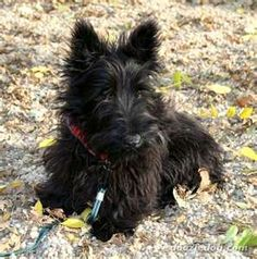 Scottish-Terrier-Puppy-