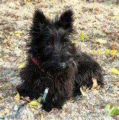 Scottish-Terrier-Puppy-
