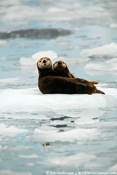 Sea Otter and pup, Surprise Inlet, Prince William Sound, Chugach National Forest, Alaska; photo by Ron Niebrugge