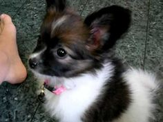 http://youtu.be/4xBhnX7_W-I 8 week old papillon! I WANT IT!!!!