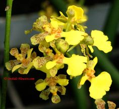 Oncidium Cebolleta | Oncidium cebolleta (Jacq.) Sw. 1800, Orchid flowers