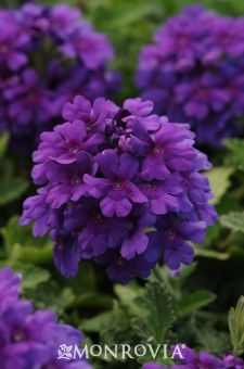 Monrovia's Endurascape™ Purple Verbena details and information. Learn more about Monrovia plants and best practices for best possible plant performance.