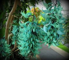 Jade vine (Strongylodon macrobotrys), endemic to the forests of the Philippines, it is related to beans and is pollinated by bats. A stem can reach a length of 3 meters (10 feet) and carry up to 75 flowers.