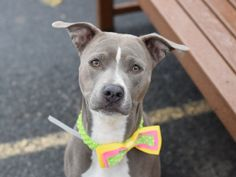 GRACE - A1069200 - - Brooklyn Please Share: TO BE DESTROYED 04/18/16 Hey—got a minute? Be sure to click on her photo and look closely at the slideshow of pictures for GRACE, a tiny pitty girl of remarkable beauty. Everyone knows that photographs rarely do any dog justice, but even in photographs, Grace has an ethereal quality that shines right through. Speaking of those who have not done her any justice, her former family allowed her to be in a situation where &#82