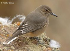 Black-billed shrike-tyrant (Agriornis montana)