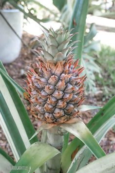 Growing Seeds, Growing Plants, Bamboo Plants, Indoor Plants, Gardening For Beginners, Gardening Tips, Pineapple Planting, Free Things To Do, Where The Heart Is
