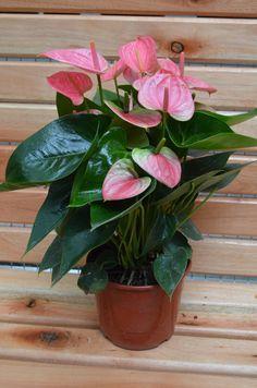 Flores hermosas como estas podes encontrar en nuestro local. El Paseo de Kaldi #rosario #viveroboutique Flower Pots, Photo And Video, Instagram, Vivarium, Walks, Rosario, Plants, Flowers, Flower Vases