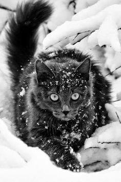 Black snow, female ( Amber x )