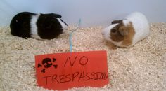 Is it normal for guinea pigs to teeth chatter at each other more and more?