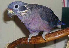 Dusky Parrot or Dusky Pionus