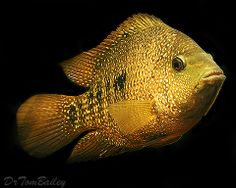 Neotropical and South American Cichlids  ...