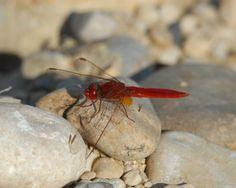 Die Feuerlibelle ist Libelle des Jahres 2011.