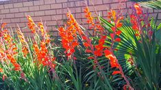 The Gladiolus plant, or Sword Lily signifies remembrance. Gladiolus, Sword, Lily, Garden, Plants, Garten, Lawn And Garden, Orchids, Gardens