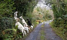 Ballyvaughan, Co. Clare, Ireland does eat oats, and lambs eat oats, but little goats eat ivy? Erin Go Braugh, County Clare, Irish Cottage, Emerald Isle, Ireland Travel, Places To See, Beautiful Places, Around The Worlds, Vacation