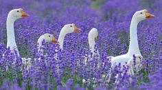 Gansen in de lavendel. (H also saw geese in our local lavender! Lavender Cottage, Lavender Blue, Lavender Fields, Lavander, Lavender Garden, Beautiful Birds, Animals Beautiful, Cute Animals, Funny Animals