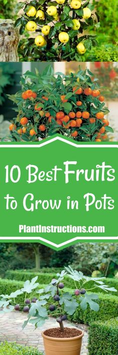fruits to grow in containers