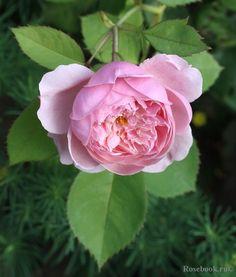 English Rose 'The Alnwick Rose', Austin 2001