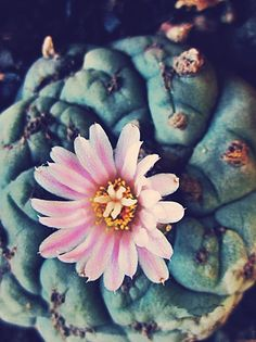 Peyote - mescaline containing cactus used for connecting with the spirit world.