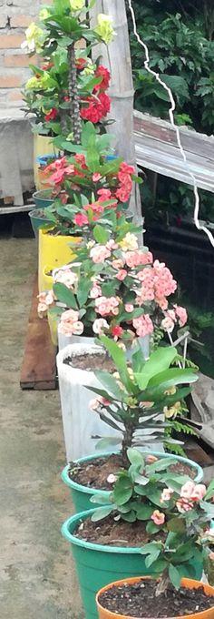 Euphorbia Milii, Crown Of Thorns, Begonia, Outdoor Plants, Screen Wallpaper, Clematis, Indoor Garden, Garden Design, Backyard