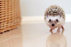Tip toe. might wake up dad. #hedgehog #animal #adorable