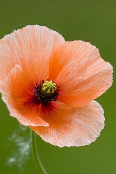 peach poppy, so beautiful!!! love to see a garden full of just these! maybe I'll plant a peach garden. -Deborah Jaffe