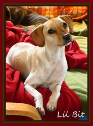 Lil' Bit is an adoptable Chihuahua Dog in Nashville, TN. Lil' Bit is playful, affectionate and cute as a button.  If we had to guess, we'd say she is a mix of Chihuahua, Whippet and Beagle.  She loves...