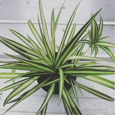 Spider Plant (Chlorophytum comosum) | 15 Beautiful House Plants That Can Actually Purify Your Home