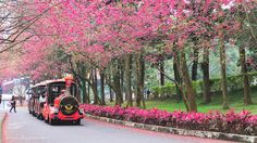 SammdaySoon: Taiwan Solo Travel: My Route and Itinerary My Route, Aboriginal Culture, Cherry Blossoms, Beautiful Islands, Solo Travel, Taiwan, Cherry Blossom, Japanese Cherry Blossoms