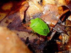 """""""The green stink bug's name is very complex (he's green. he stinks and he's a bug). He's often found being green and stinky in orchards, gardens, woodlands and fields across North America."""""""