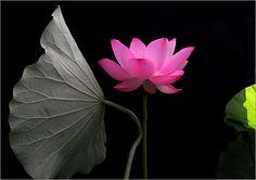 Lotus Flower IMG_8634