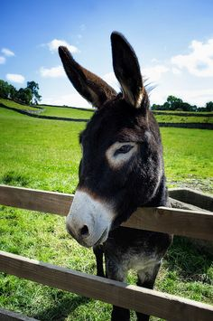 This is Clyde, my 5 year old Mediterranean donkey Baby Donkey, Cute Donkey, Mini Donkey, Baby Cows, Baby Elephants, Beautiful Horses, Animals Beautiful, Animals And Pets, Baby Animals