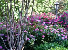 The Pink Knock Out® Rose | Star Roses & Plants - loved these in VA and they were so easy to care for