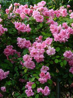 Climbing Pinkie Rose - Blooming 3/5/2012