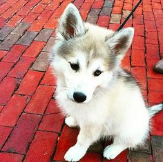 This little, baby wolf. | 21 Puppies Who Have No Idea How Big They're About To Be