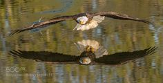 Bald Eagle Skimming the water by PeterKBurian via http://ift.tt/1W6didd